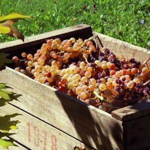 Tout Savoir Sur La «fabrication» Du Vin : De La Vigne Au Verre